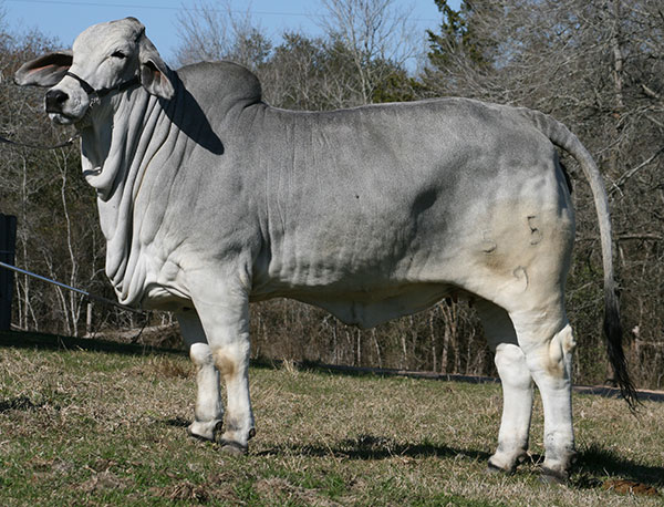 Heritage Gray Brahman Donors - +Lady H Adelyn Manso 55/9