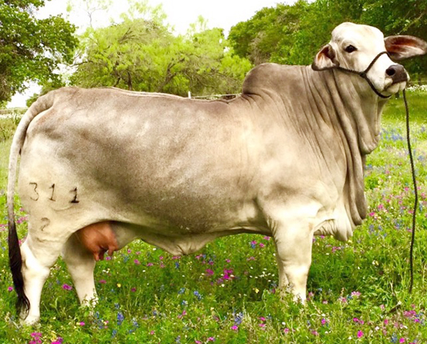 Heritage Gray Brahman Donors - Lady H Amber Manso 311/2