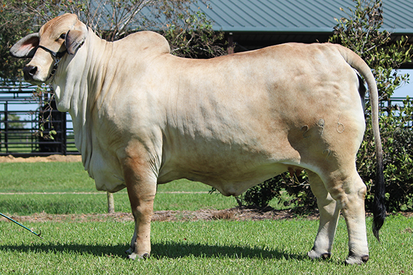 +Lady H Adelyn Manso 55-9 Gray Brahman Donor