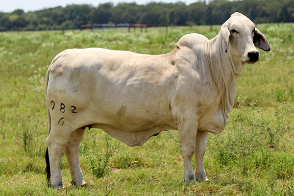 Lady H Nora Manso 982/6 Gray Brahman Donor