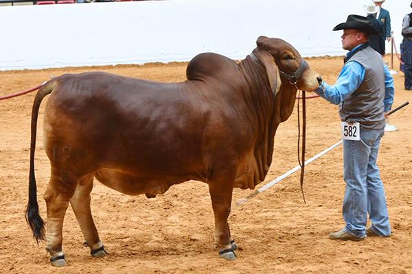 2019 National Reserve Calf Champion Mr H Pride of Maddox Manso 684-8
